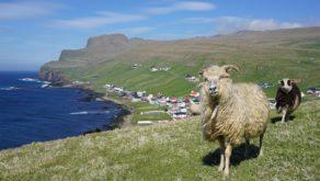Sumba sheeps ©kallerna / CC BY-SA (https://creativecommons.org/licenses/by-sa/4.0)
